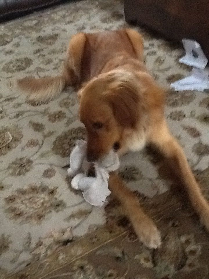 Neutered Male Golden Retriever Lost In Conroe Tx Went Missing