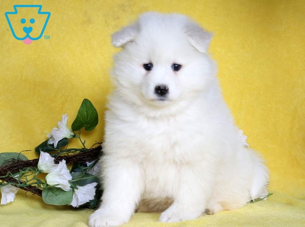 Hanna Samoyed Puppies For Sale Samoyed Puppies