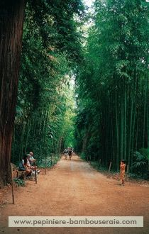 Fiche bambou : Phyllostachys bambusoides