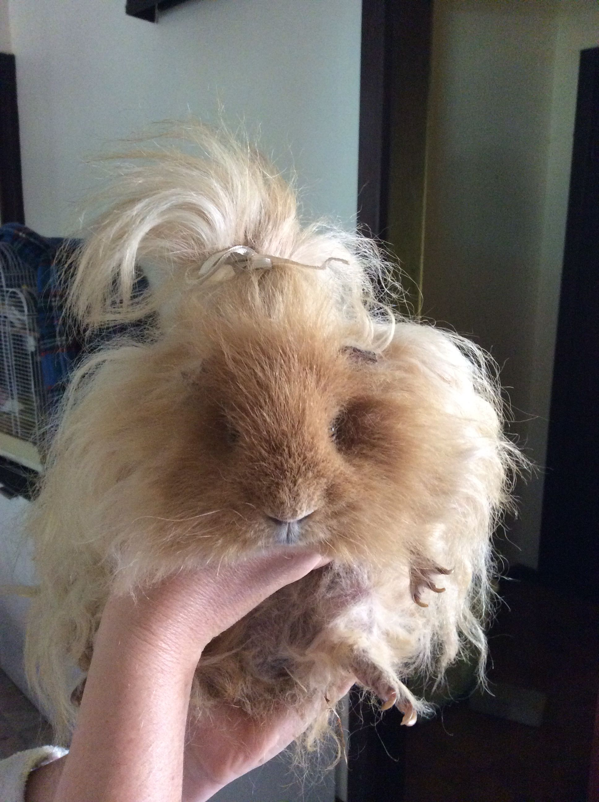 Fluffy overload...believe it or not this is actually a guinea pig.OMG check out the hair pin! So cute