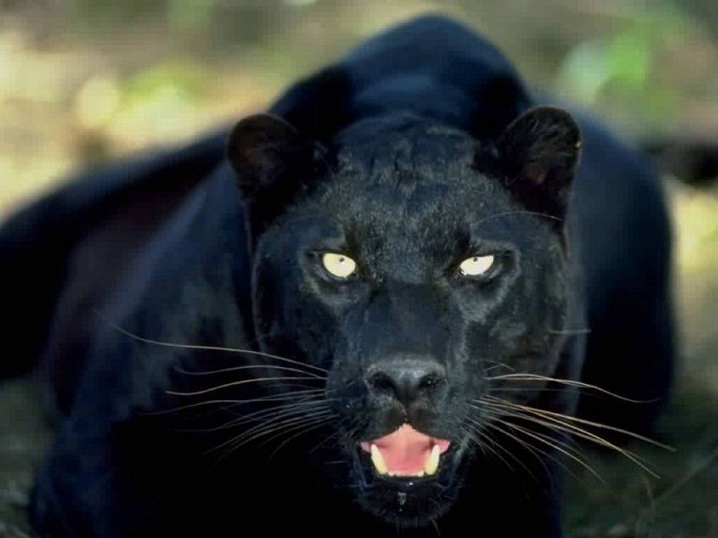 Free Black Panther Animal Animals Zoo Park Black