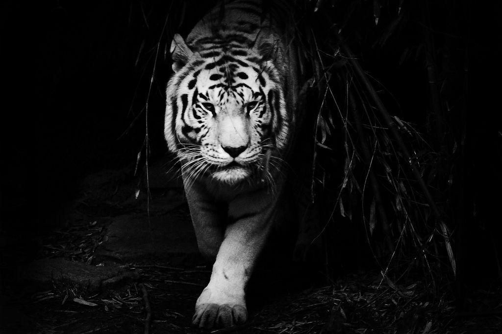 Dark Widescreen Tiger Wallpapers Pinterest White Bengal Tiger