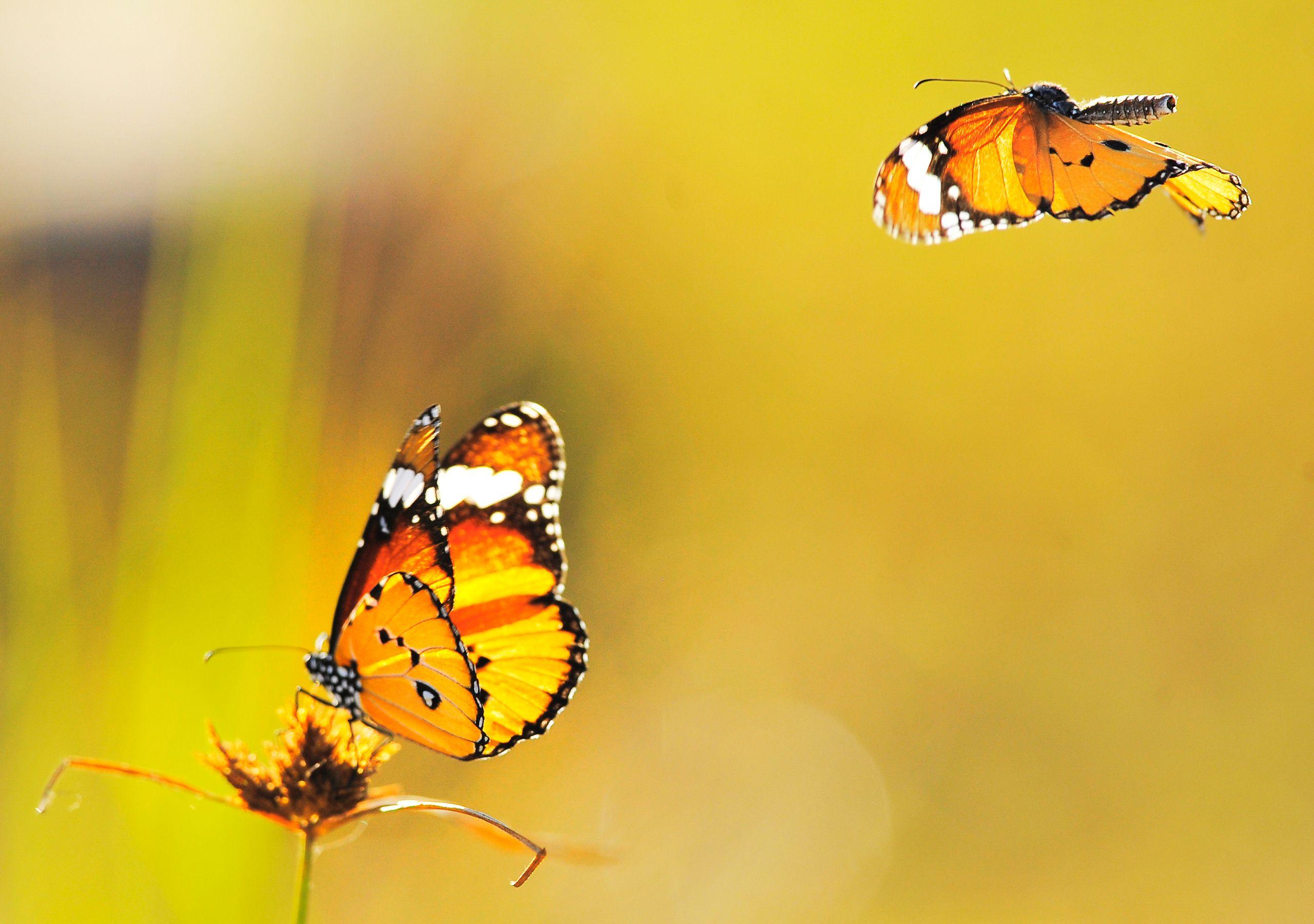 1571 Yellow Butterfly Background Hd Wallpaper Butterfly