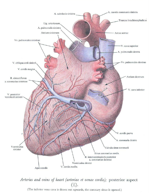 The heart is supplied with blood by two arteries: the right coronary ...