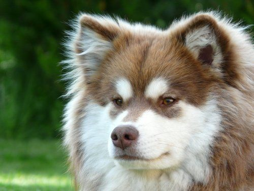 Chiens Chien Finnois De Laponie Dogs Dog Breeds