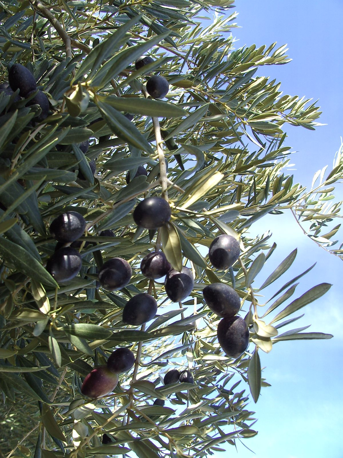 Olive tree always wanted a olive tree they can be messy so not on olive tree always wanted a olive tree they can be messy so not on buycottarizona Choice Image