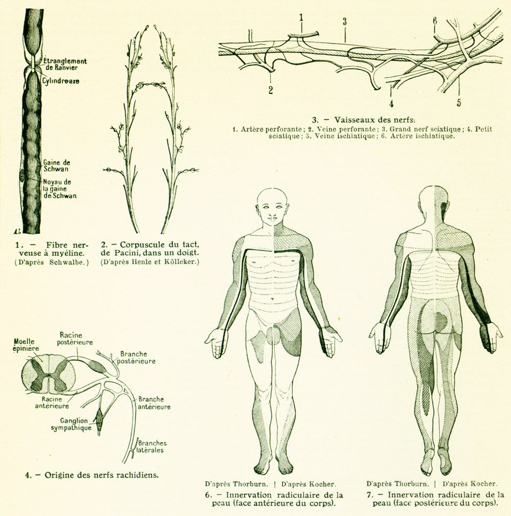 1912 Spinal cord antique print, nerves, antique medicine & surgery ...