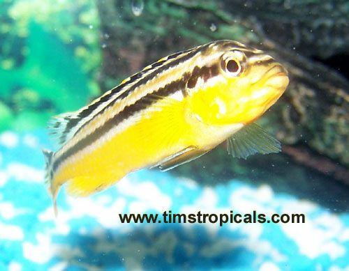 Lake Malawi Cichlid Information For Beginners African Cichlids Mbuna Cichlids