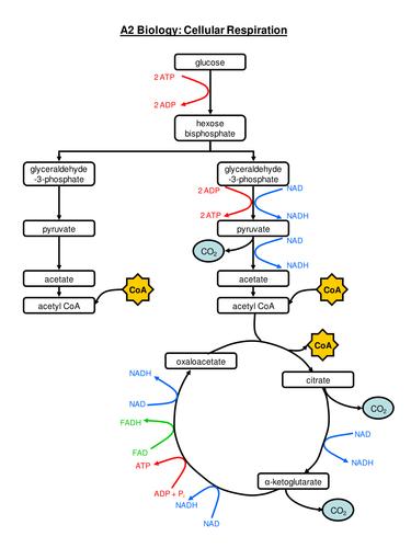 Process Of Respiration Flow Chart Bobi Karikaturize Com