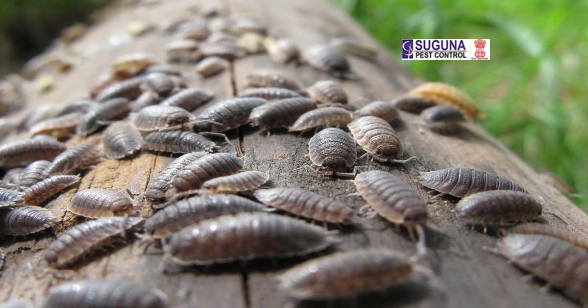 Woodlice Suguna Pest Control Kill bugs, Woodlice, Insect
