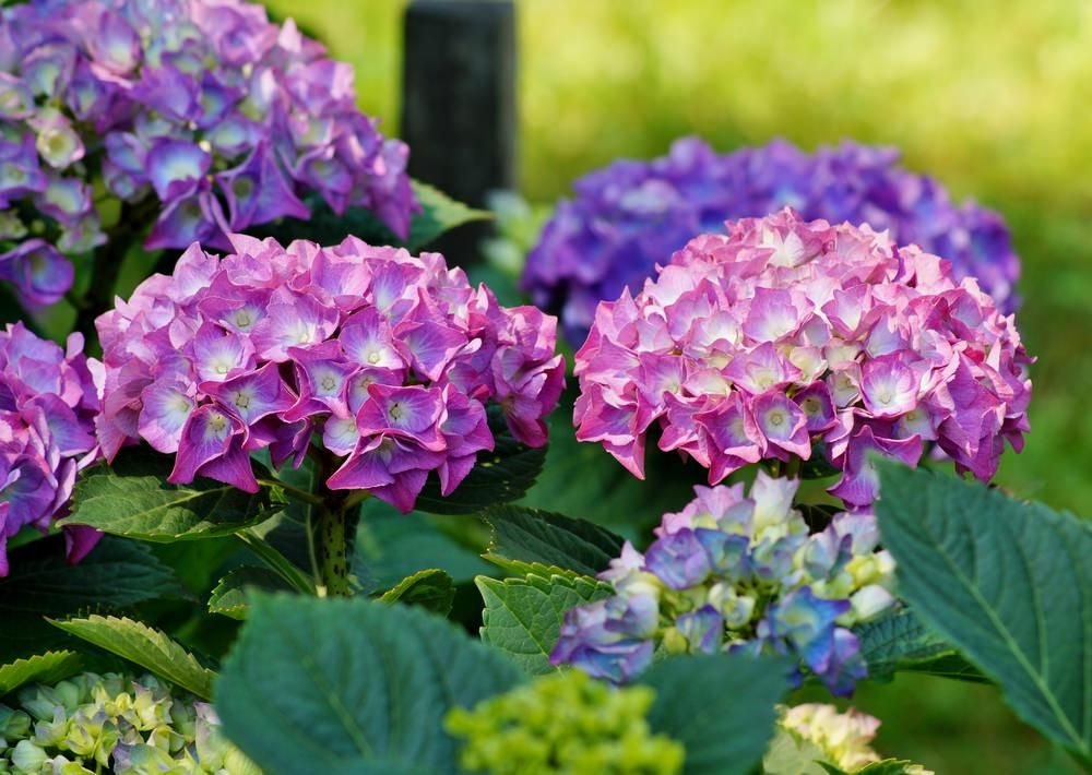 101 Perennials That Do Well In Shade A To Z Coffee Grounds As Fertilizer Hydrangea Fertilizer Planting Hydrangeas