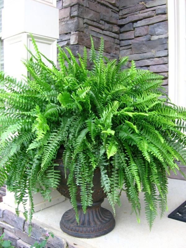 Boston Fern Curly Willow will be planted into the urn planter