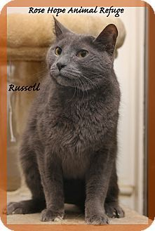 Waterbury Ct Russian Blue Meet Russell A Cat For Adoption