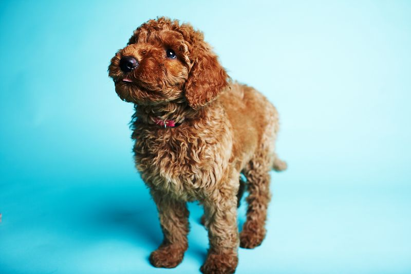 Pin By Ali Farver On Cute Labradoodle Puppy Cute Dogs Cute Animals