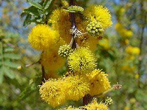 Sweet Acacia Flowers Plants Greek Flowers