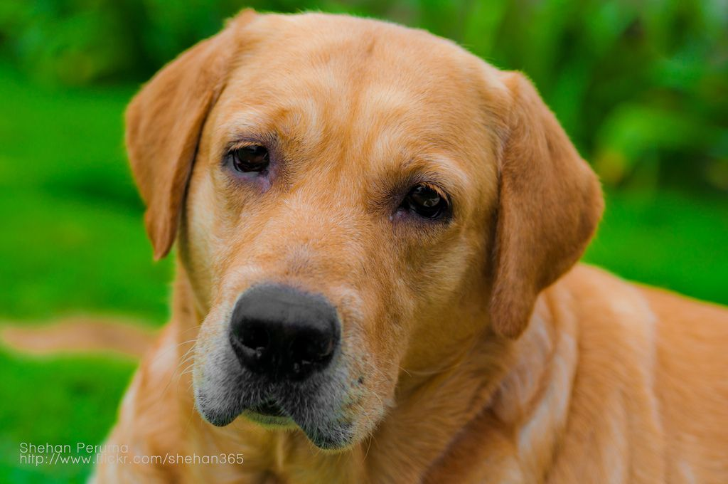 Golden retriever great family dog with images golden