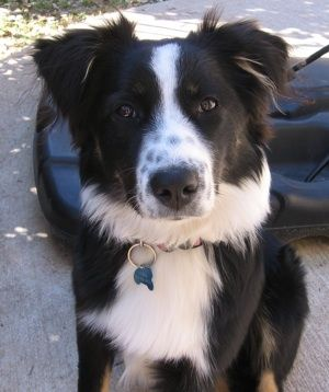 Australian Shepherd Pictures And Photos 3 Black Australian