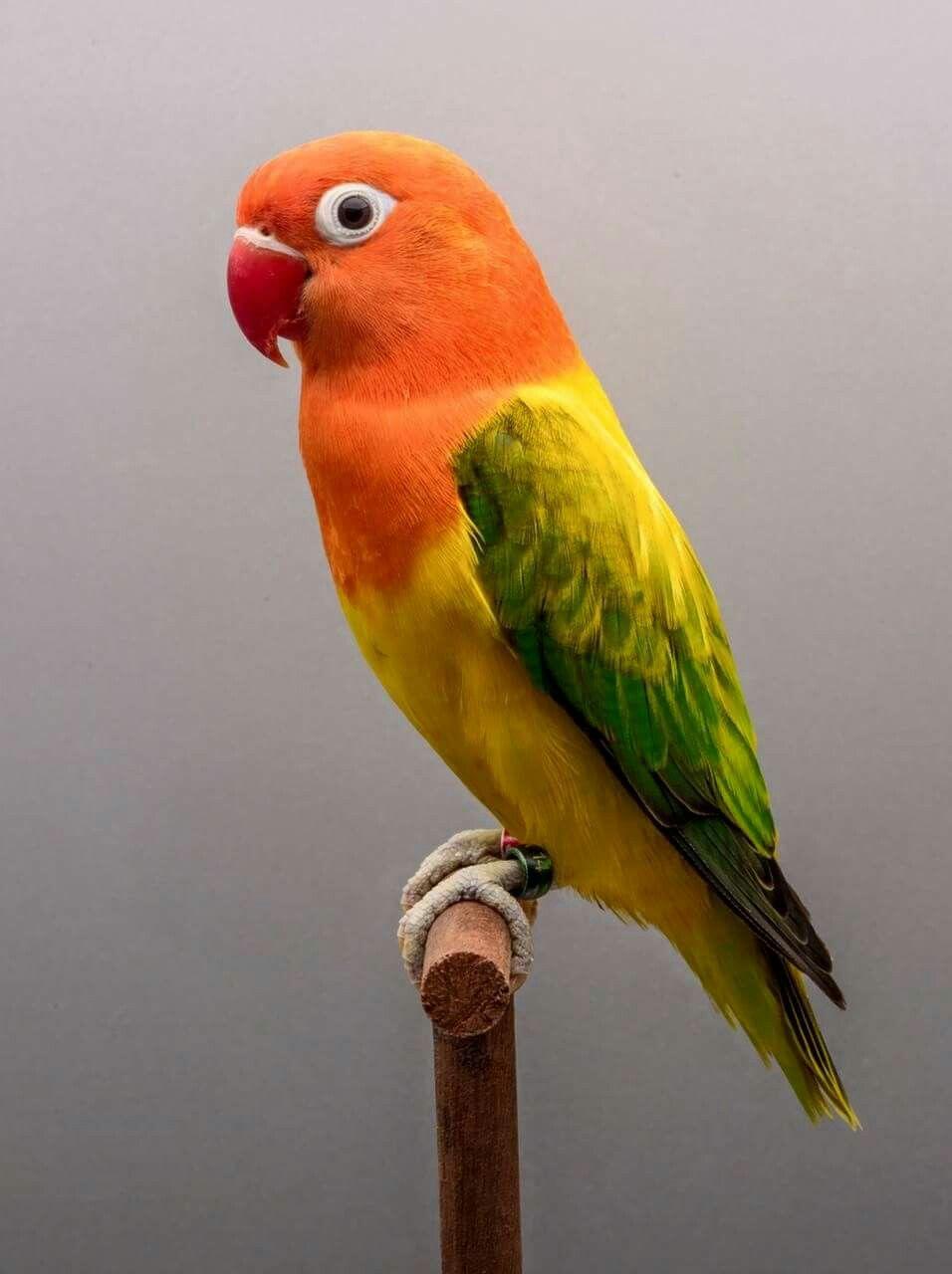 Euwing opaline fischery with images pet birds parrots