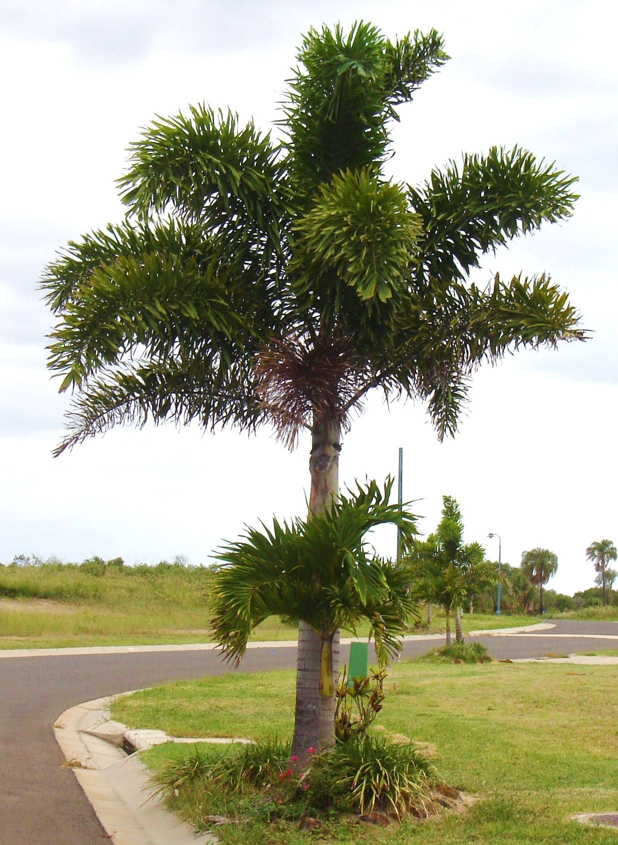 Foxtail Palm (Wodyetia bifurcata) plants for sale (With