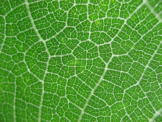 Angiosperm venation | Flickr - Photo Sharing!