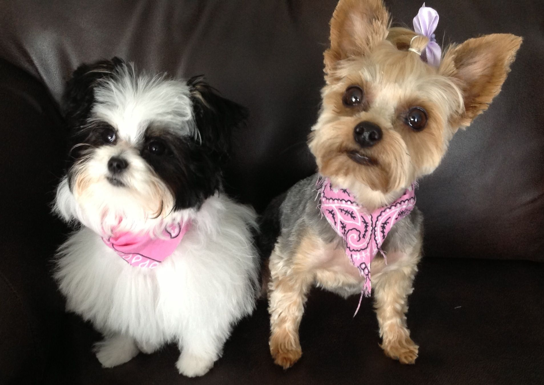 Papitese (maltese papillon mix) and Yorkie. Now sisters