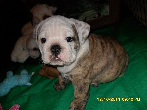 Champion Bloodline English Bulldogs In Fresno California Isnt He