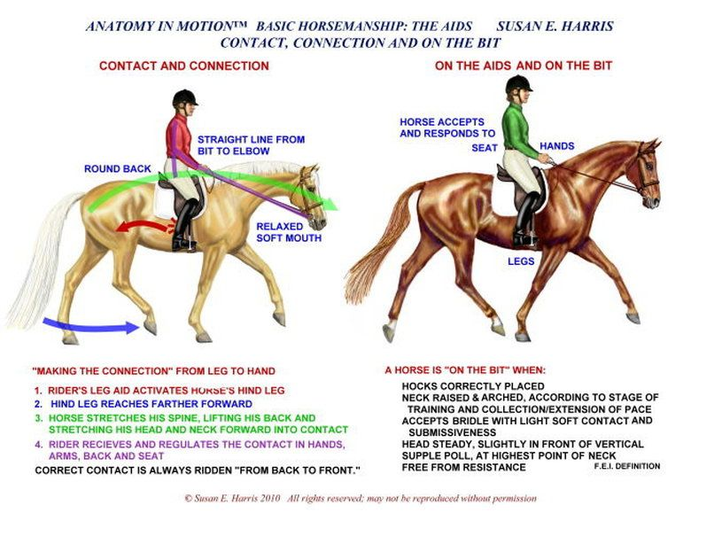 Anatomy In Motion | Horses | Pinterest | Anatomy, Horse and Dressage