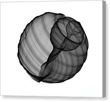 X-ray Seashell Canvas Print featuring the photograph X-ray Of Tun Shell by Bert Myers