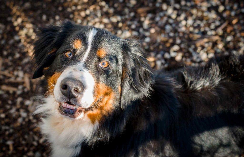 Bernese Mountain Dog Puppies Hd Wallpaper 1080p Dogs And Puppies Bernese Mountain Dog Mountain Dogs