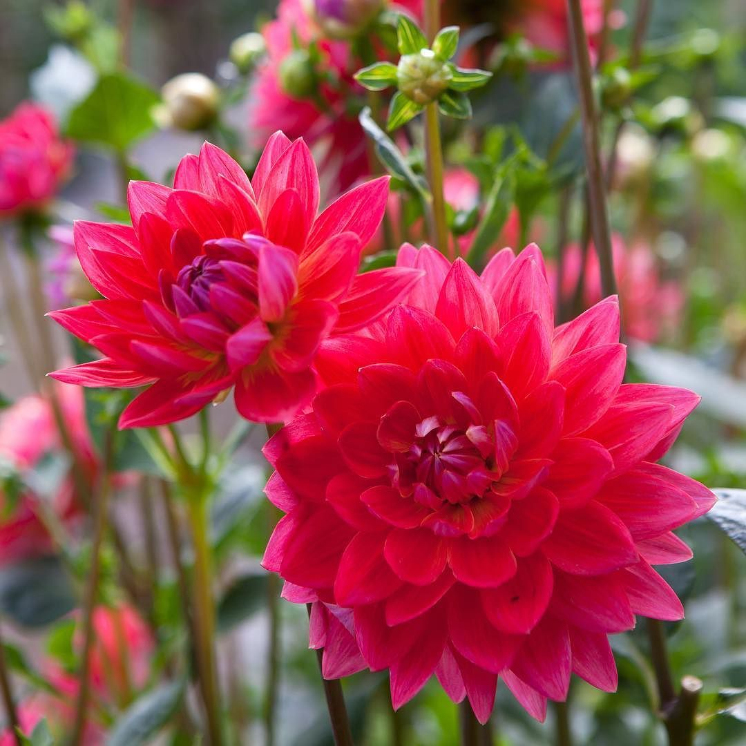 It S Friday This Majestic Waterlily Dahlia Is Called Kilburn Rose Natural Garden Planting Roses Garden Tattoos