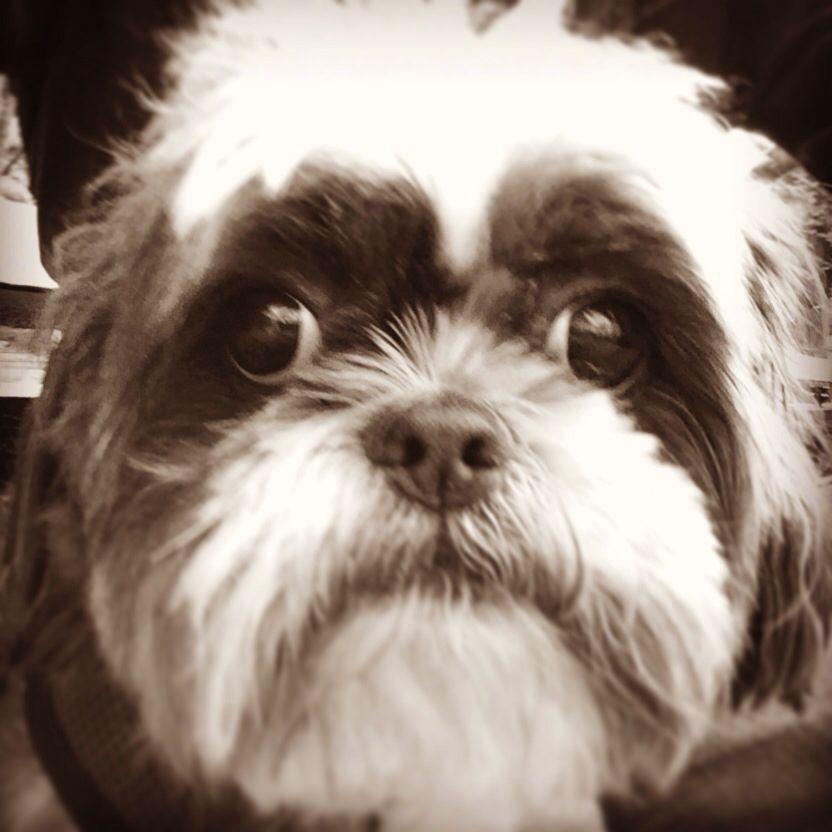 Shih Tzu Love In Central Park Shih Tzu Dogs Dog Park