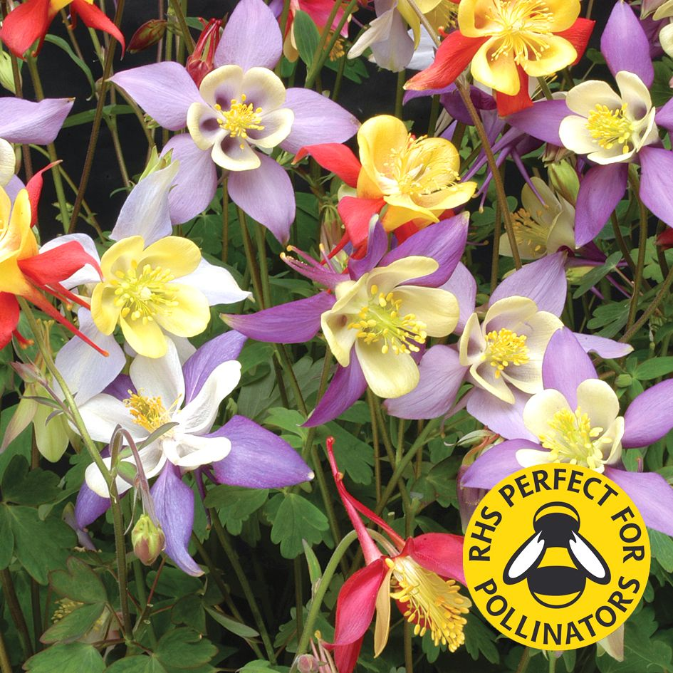 Pin On A Company Of Columbines