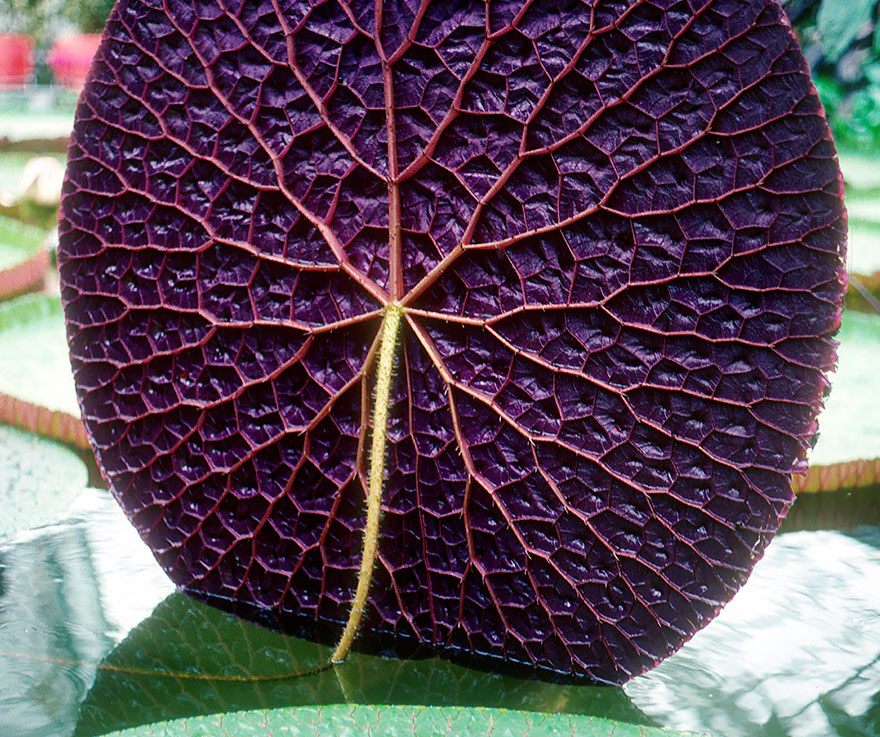 The Symmetry Of These Geometrical Plants Post Lily Pads Geometry In Nature Giant Water Lily