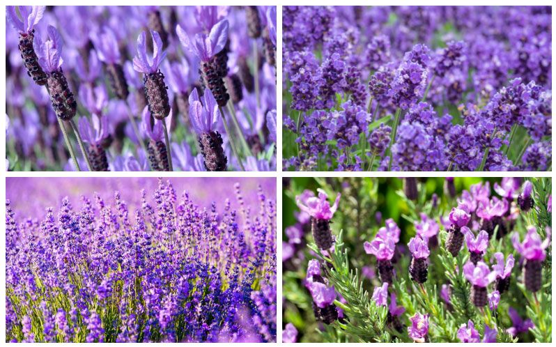 20 Different Types Of Lavender Plants In 2020 Blue Spring Flowers Types Of Lavender Plants Flower Collage
