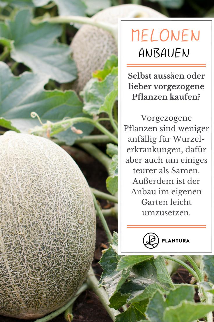Melonen Pflanzen Zuckermelone Honigmelone Co Melonen Pflanzen Pflanzen Melonen