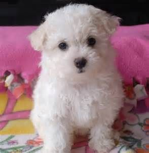 Beautiful Bolognese Bichon Bolognese Puppies For Sale Tn Dog With Images