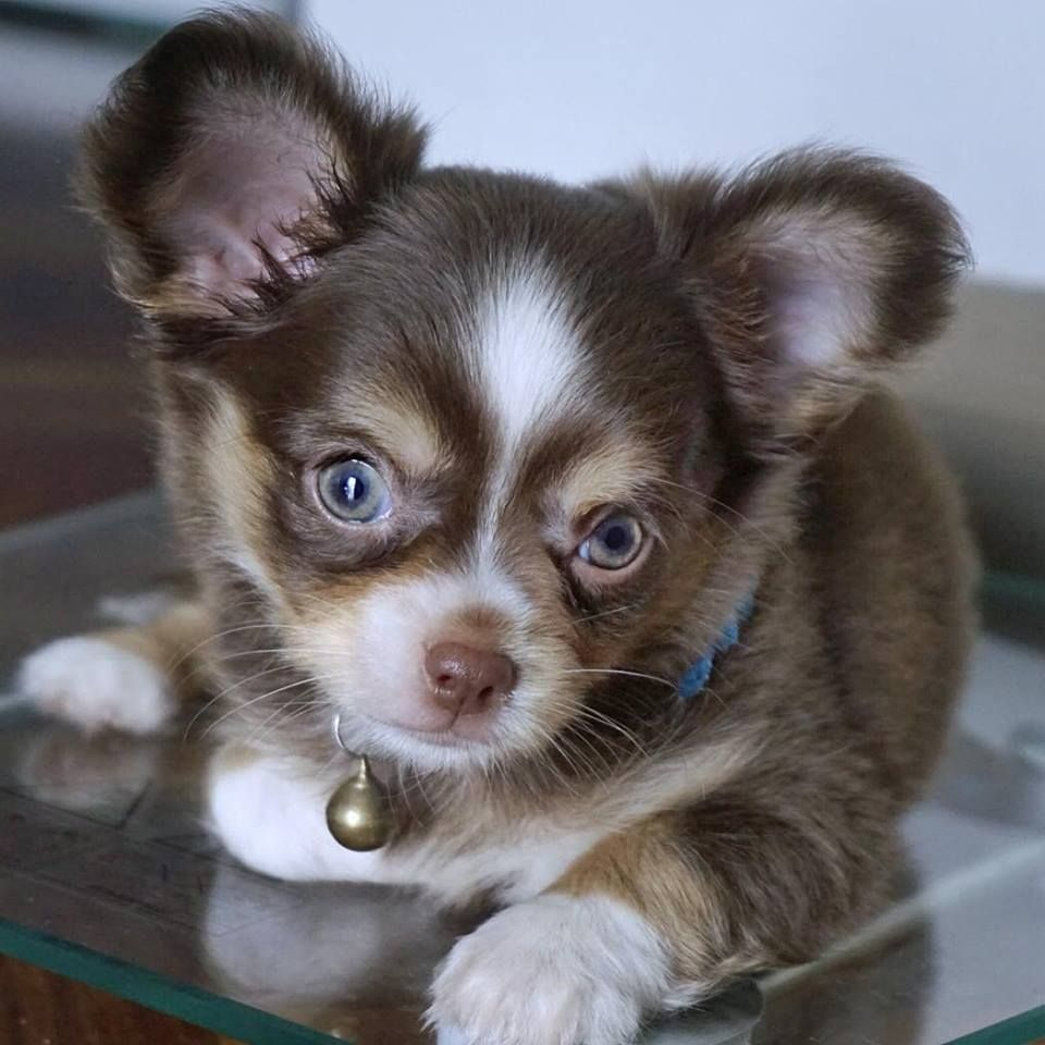 Adorable Little Guy My Favorite Brown Color In A Chihuahua