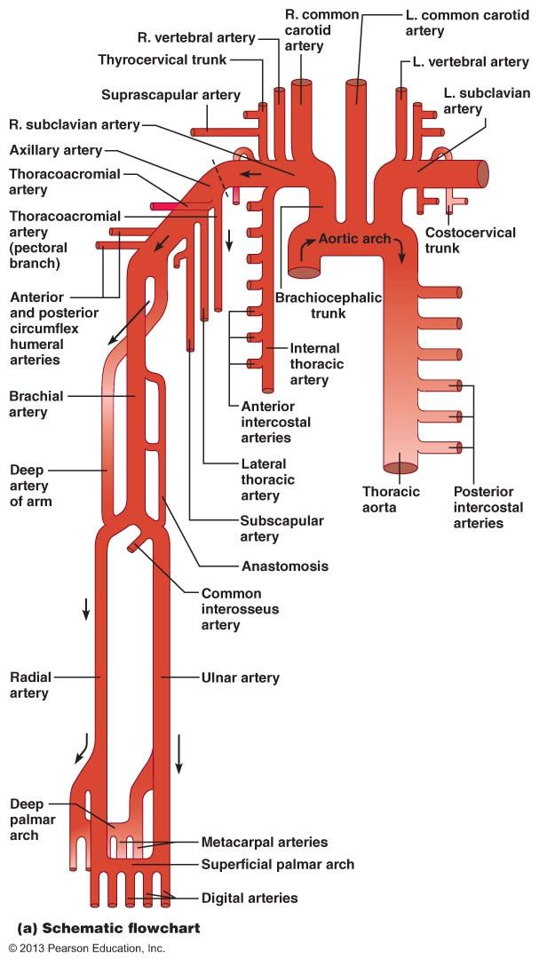 The Cardiovascular System: Blood Vessels (infographic) | Diagramas ...