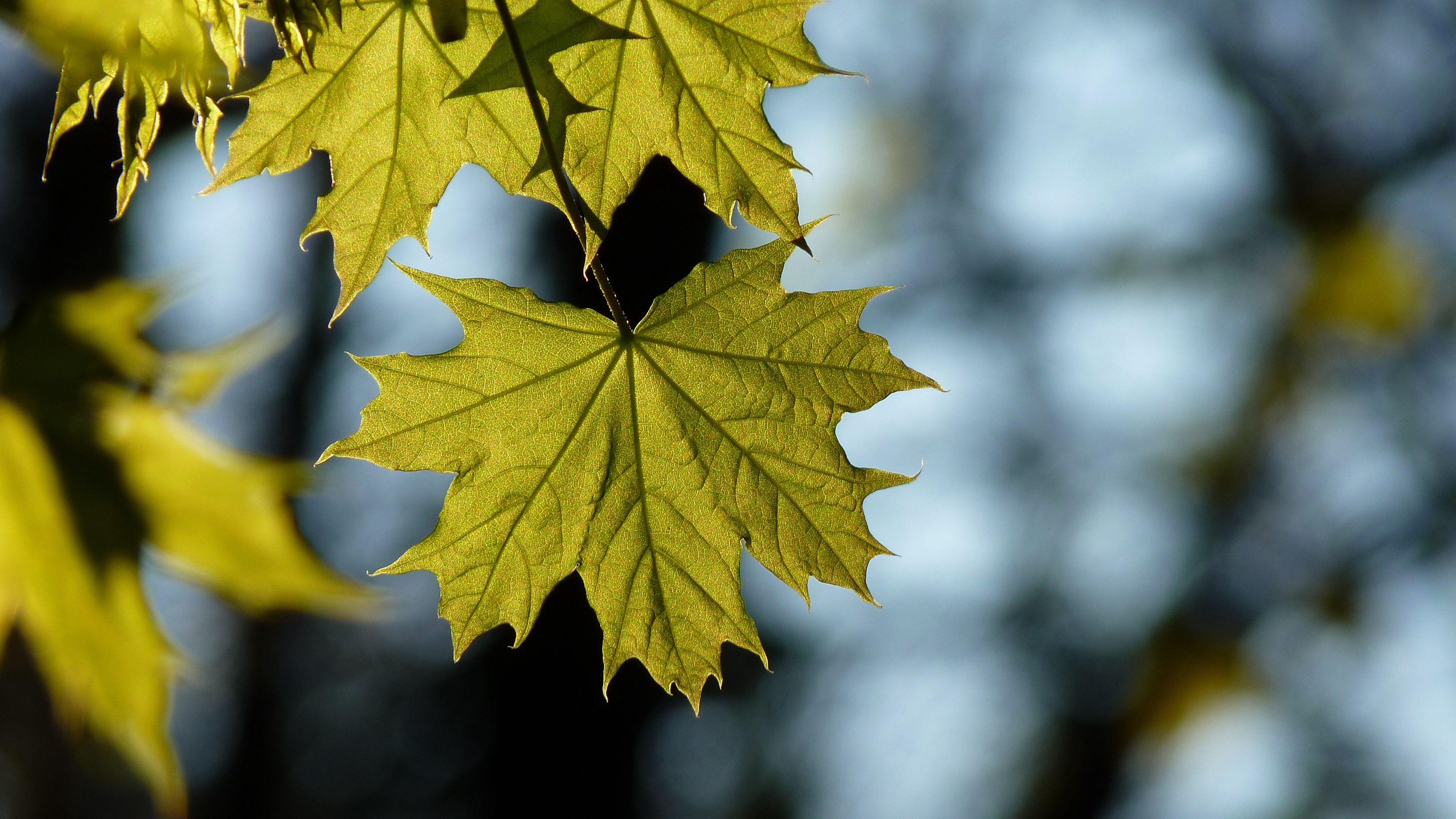 Maple Leaf Blur 4k Maple Leaf Blur Leaves Plant Leaves Nature Wallpaper