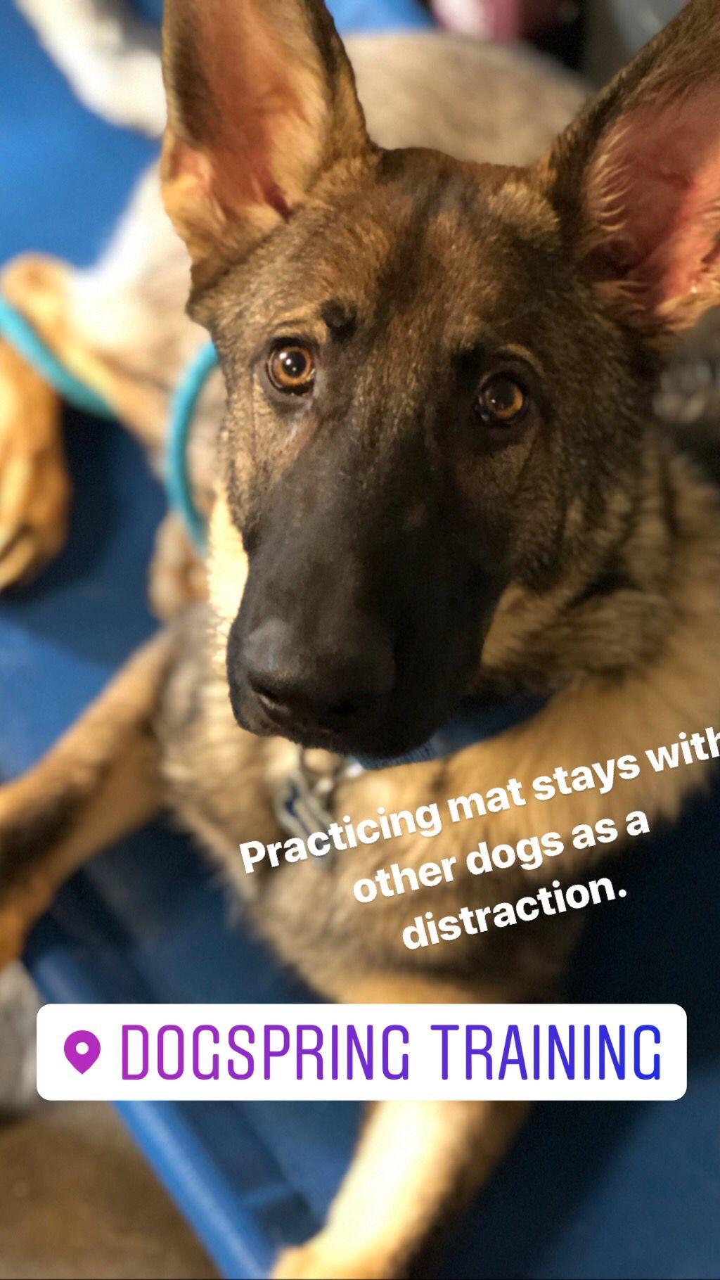 Dog Training Fresno Clovis German Shorthaired Pointer Puppy