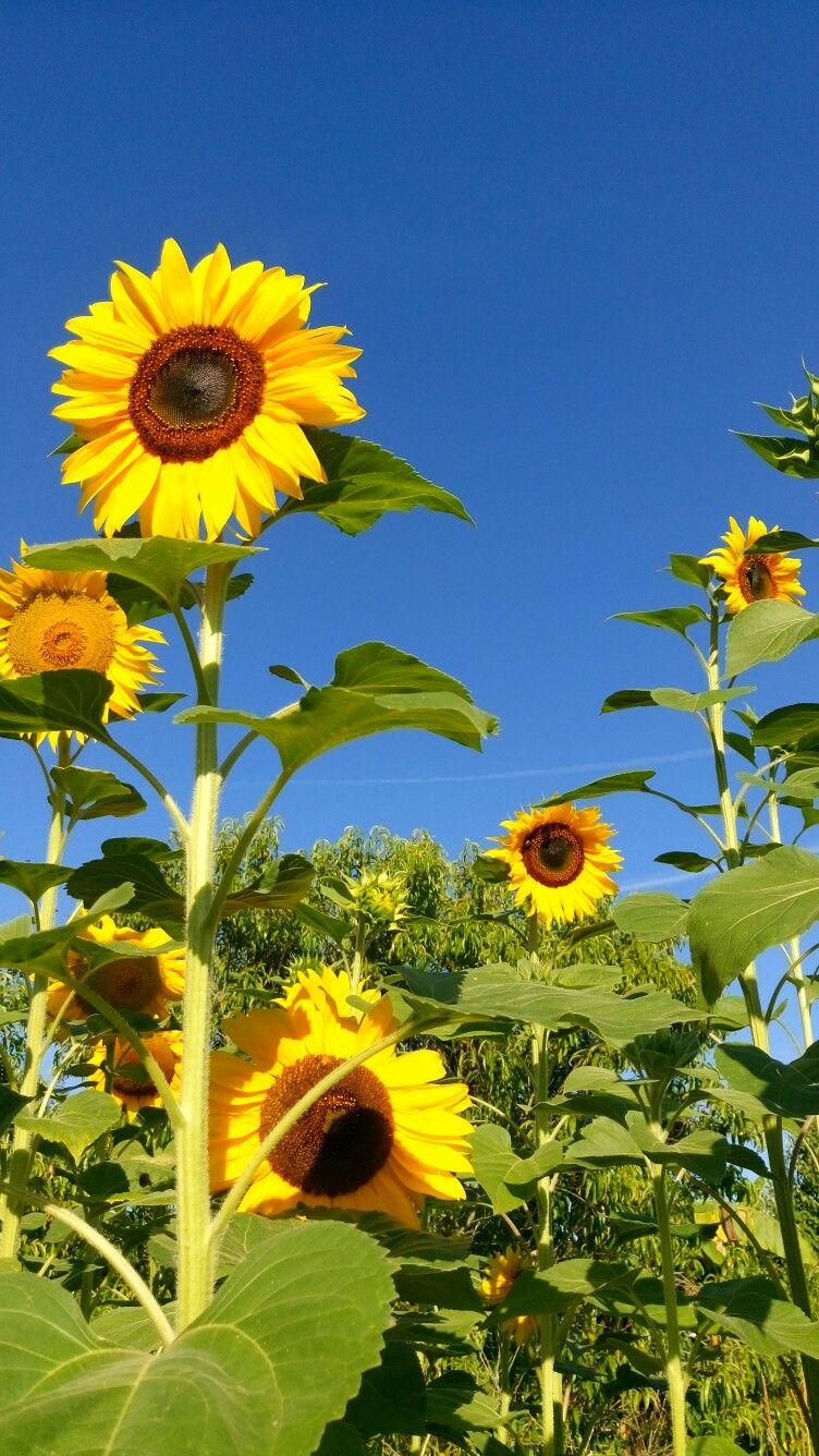 Love sunflowers !