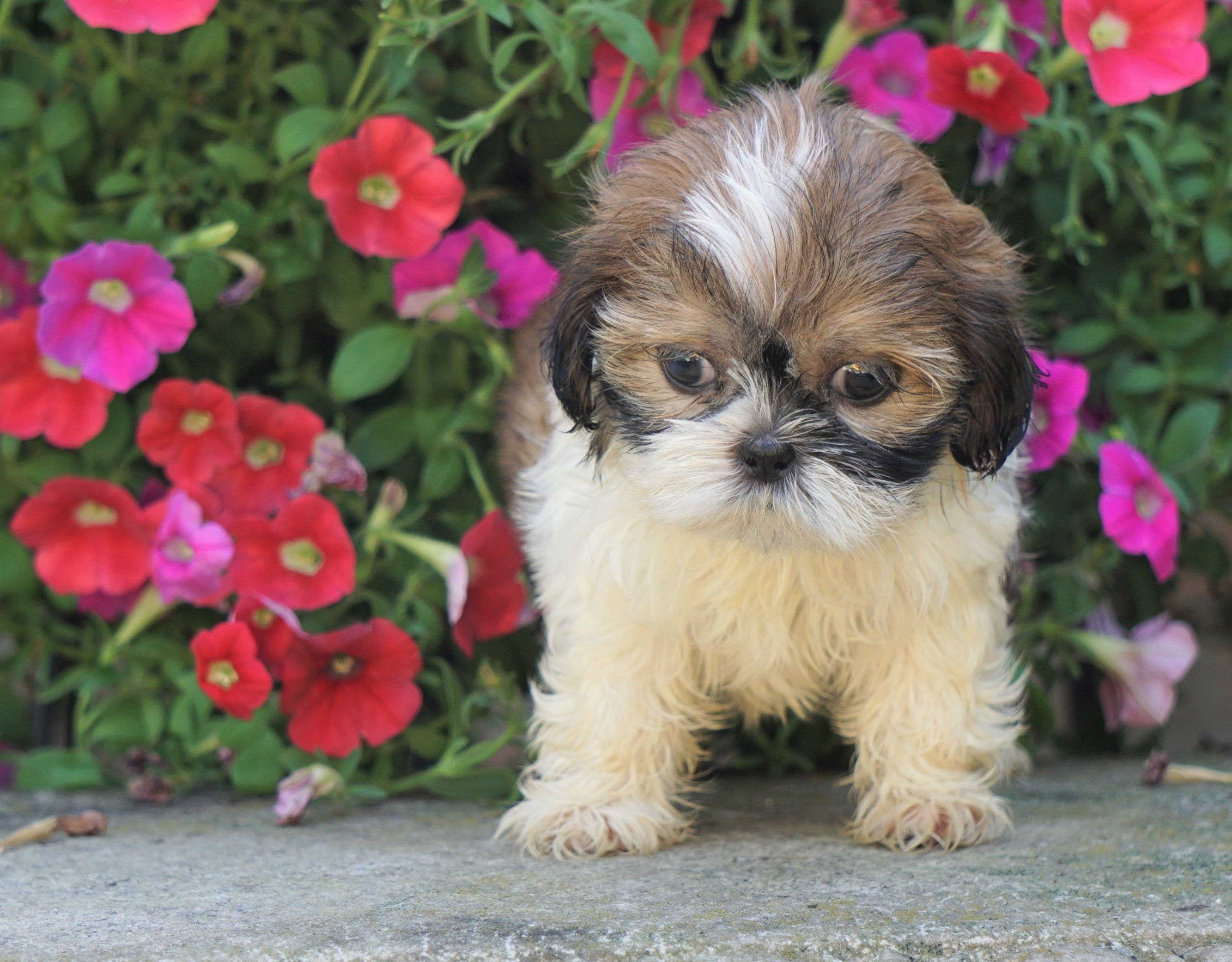 Smart ShihTzu Puppies, Shih tzu