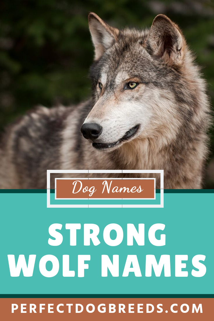 Wolves Are Ferocious And Wild Creatures Who Possess The Strength Of A Big Wild Animal Too Check Out Our List Of Strong Wolf In 2020 Wolf Name Dog Names Boy Dog Names