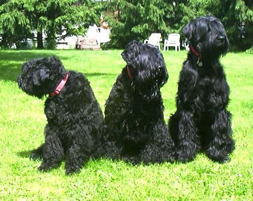 Black Russian Terrier dog breed