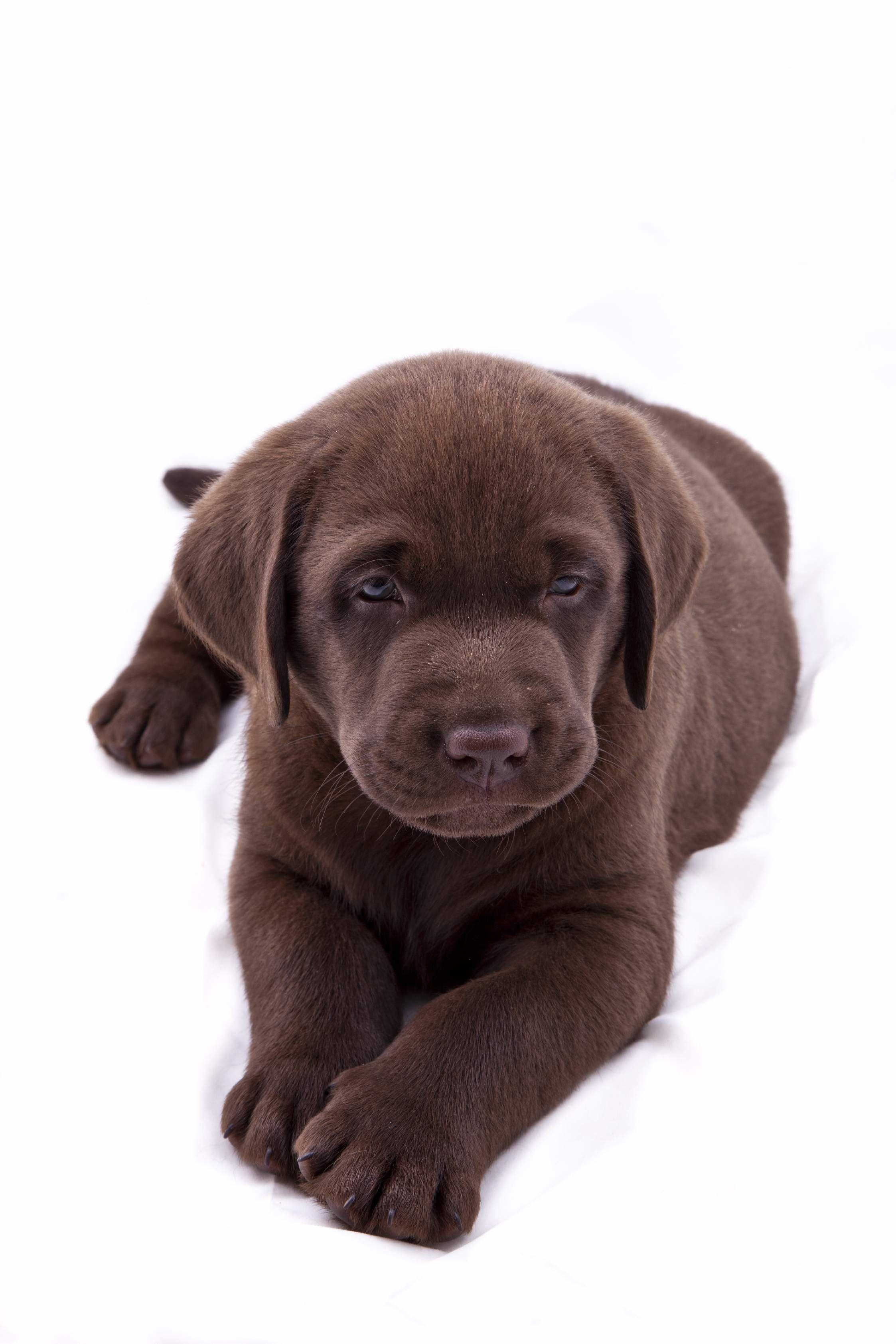 Chocolate Labrador Perro Labrador Cachorros Adorables Perros