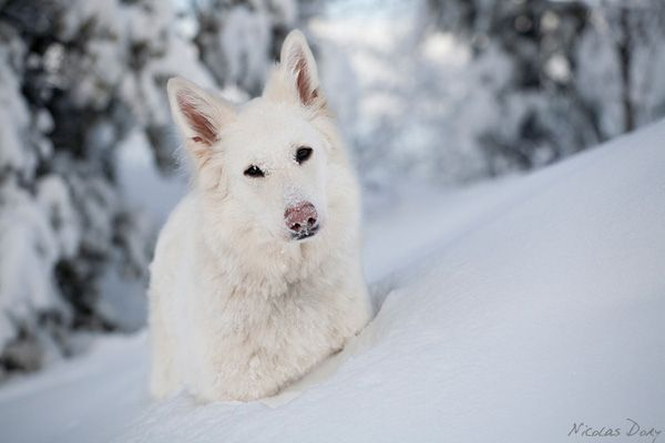 White Swiss Shepherd Into The Wild