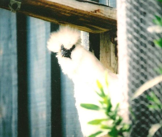 Farm Animal Photography Curious White Silkie Hen by TheOldBarnDoor, $4.00