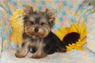 Maltese , 5 Cute Morkie Puppies For Sale in Pittsburgh pa