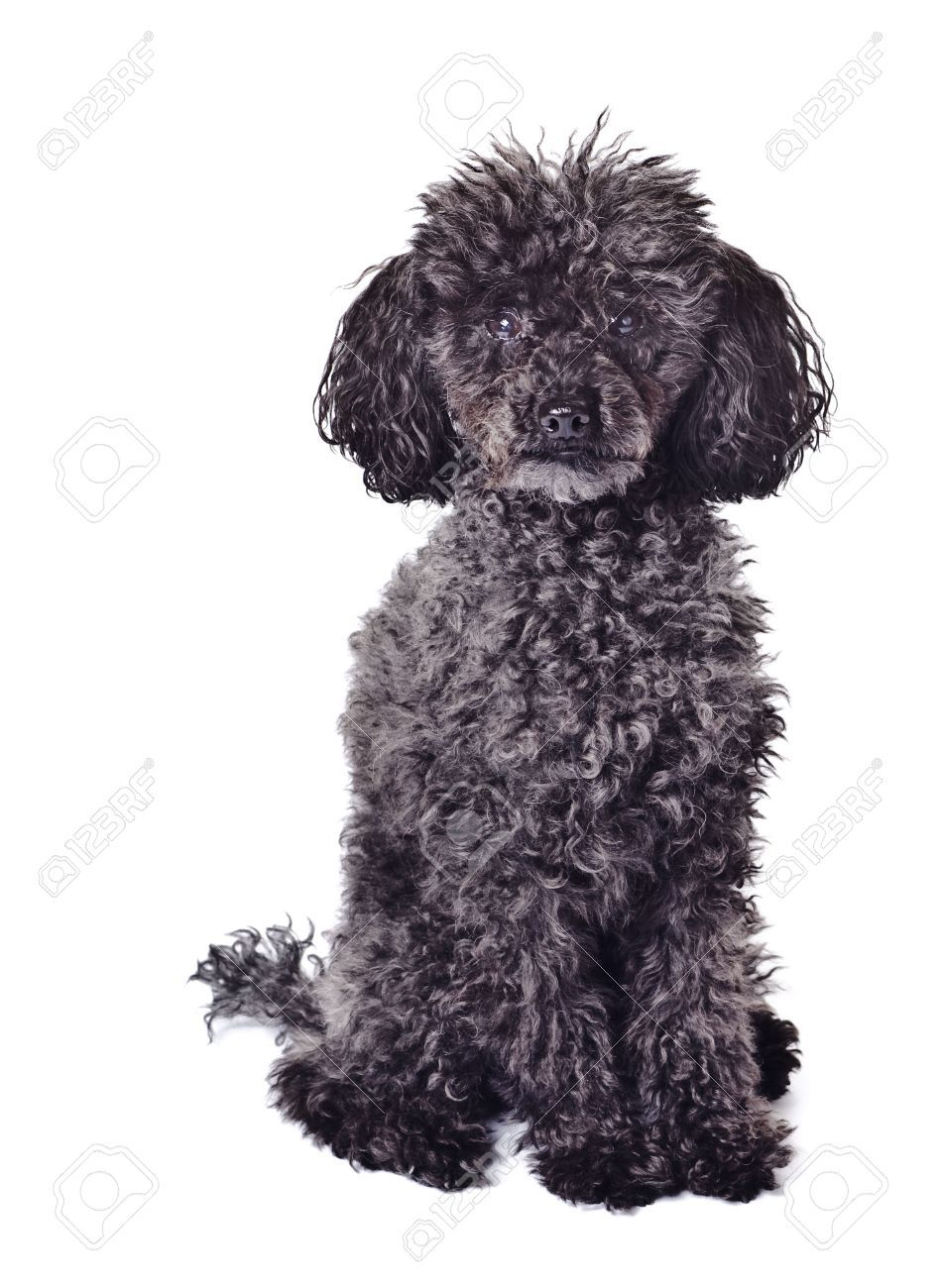 Black Toy Poodle Full Grown Google Search Spiral Art Altered
