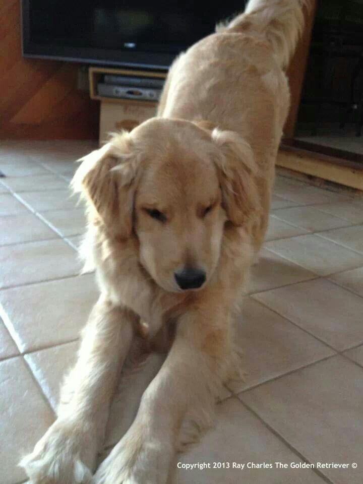 The Golden Retriever Stretch I Ve Seen This Many Many Times